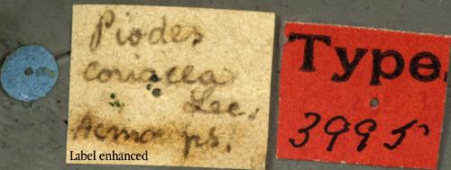Image of <i>Piodes coriacea</i> Le Conte 1850