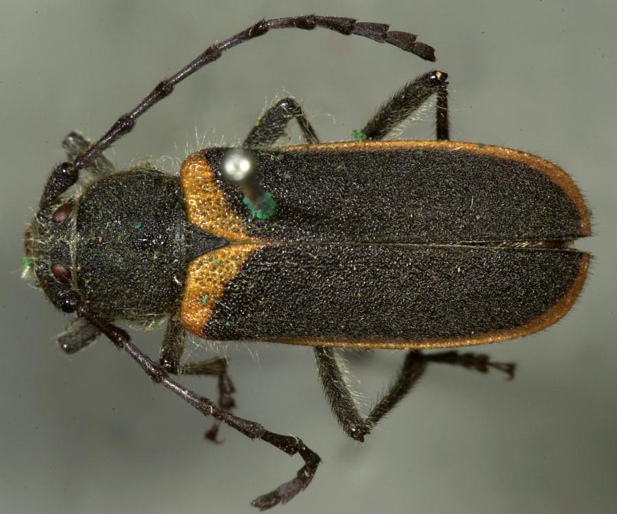 Image of <i>Metaleptus batesi</i> Horn 1885