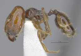 Image of <i>Pheidole senex</i> Gregg 1952