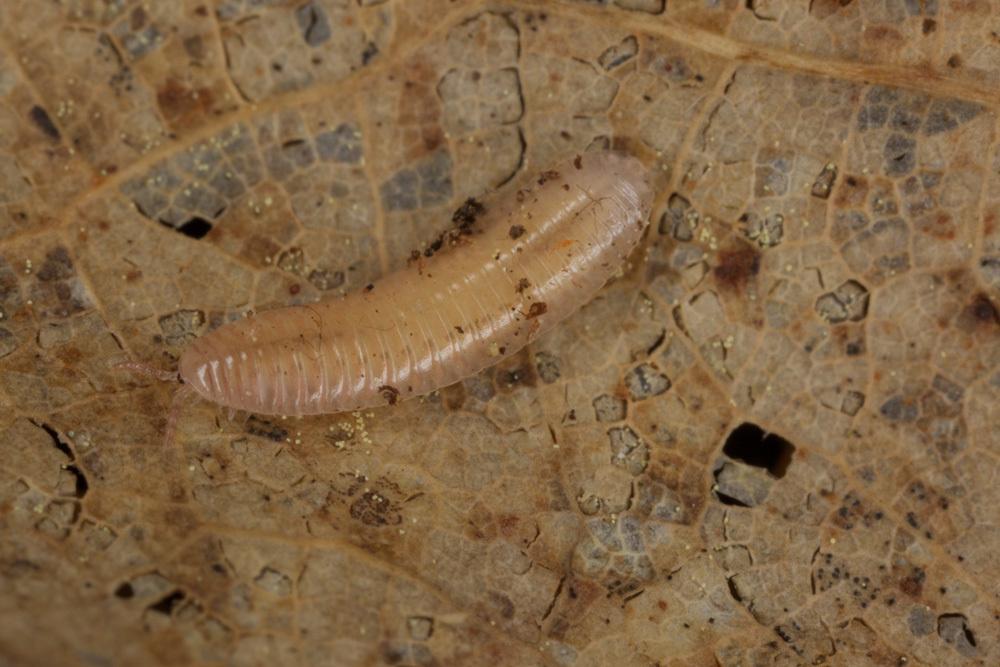 Image of Polyzoniida