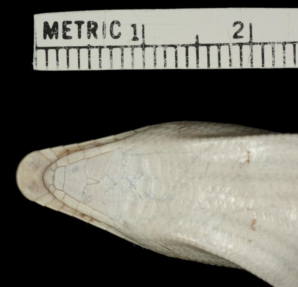 Image of Eastern Skink