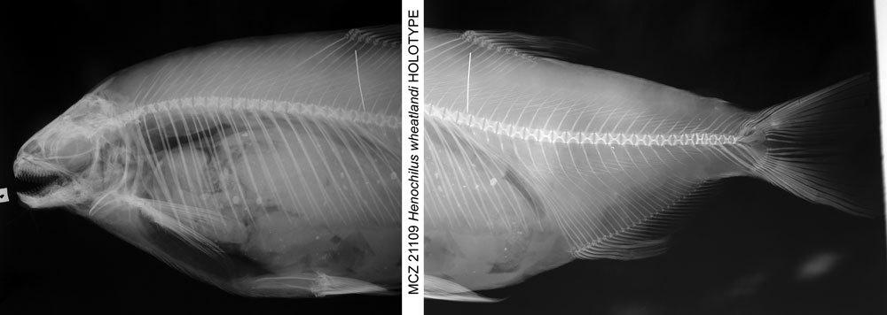 Image of <i>Henochilus wheatlandii</i> Garman 1890