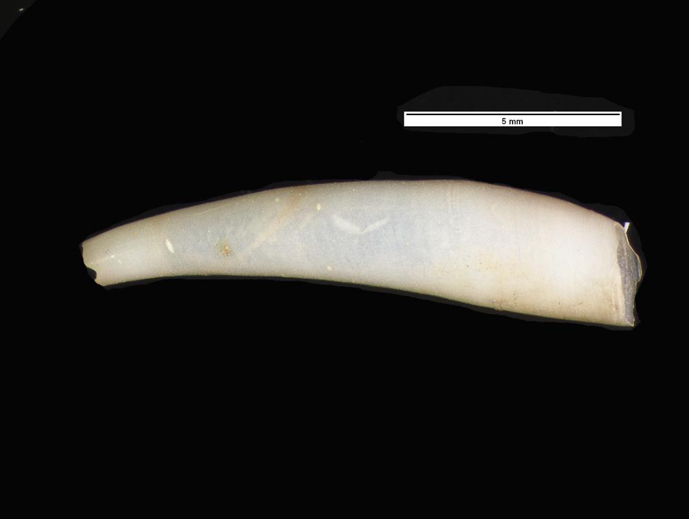 Image of Verrill's giant cadulus