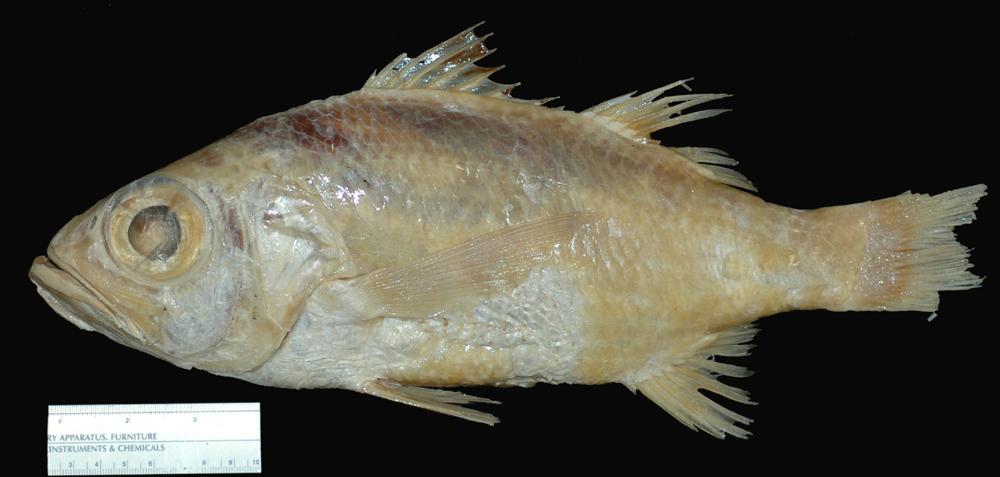 Image of Black Verilus