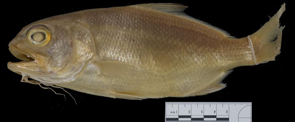 Image of <i>Dinemus venustus</i>