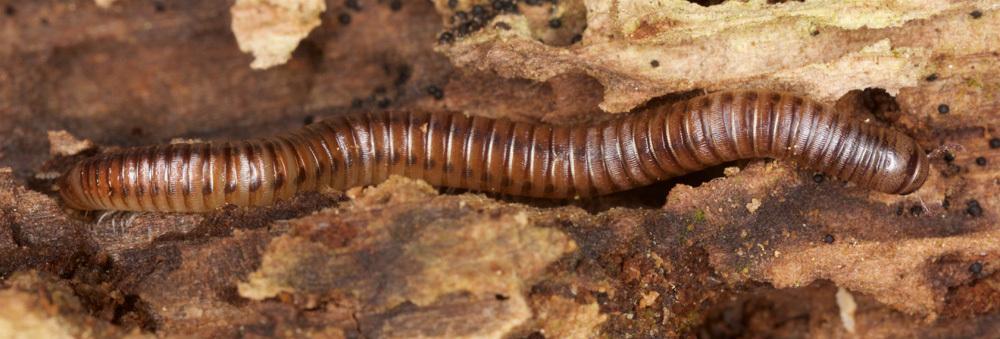 Image of <i>Cylindroiulus punctatus</i> Leach 1814