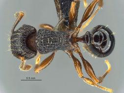 Image of <i>Tetramorium weitzeckeri</i> Emery 1895