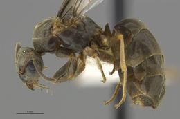 Image of <i>Lasius alienus</i> (Foerster 1850)