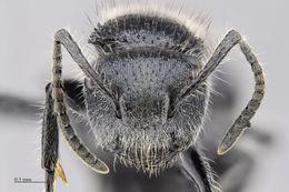 Image of <i>Echinopla pseudostriata</i> Donisthorpe 1943