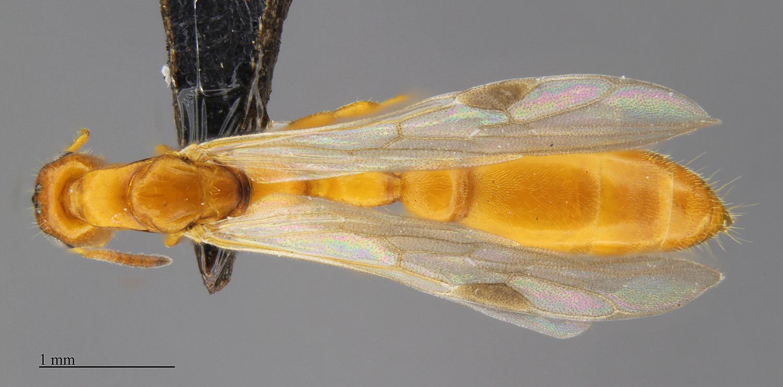 Image of <i>Tetraponera ambigua</i> (Emery 1895)