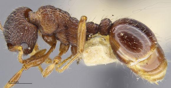 Image of <i>Myrmica tahoensis</i> Weber 1948