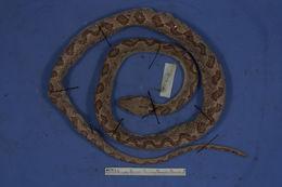 Image of <i>Leptodeira septentrionalis</i> ssp. <i>larcorum</i>