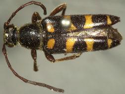 Image of <i>Typocerus sparsus</i> Le Conte 1878