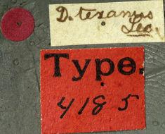 Image of <i>Dectes texanus</i> Le Conte 1862