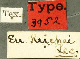 Image of <i>Euderces reichei</i> Le Conte 1873
