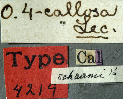 Image of <i>Oberea quadricallosa</i> Le Conte 1874