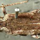 Image of <i>Mecotetartus antennatus</i> Bates 1872
