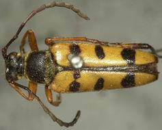 Image of <i>Typocerus balteatus</i> Horn 1878