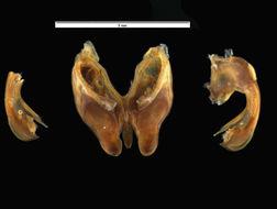 Image of <i>Litostrophus segregatus</i> Chamberlin 1921