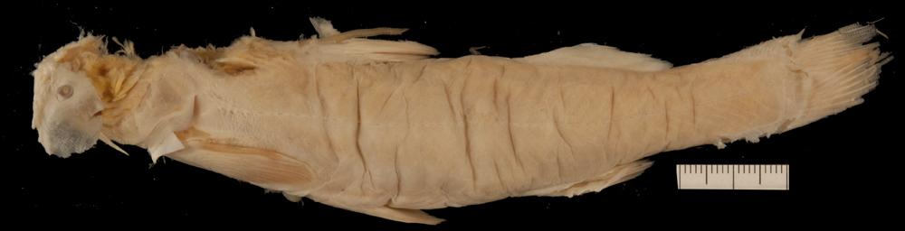 Image of <i>Diplomystes chilensis</i> (Molina 1782)