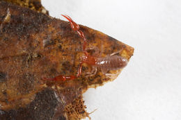 Image of Pararoncus