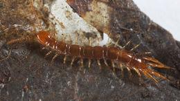 Image of Monotarsobius