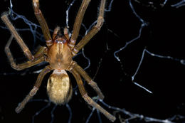 Image of austrochilid spiders