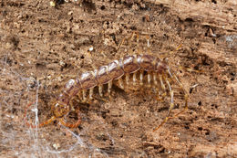Image of <i>Paralamyctes chilensis</i> Gervaisin
