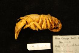Image of upland burrowing crayfish