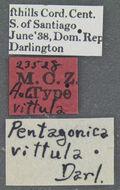 Image of <i>Pentagonica vittula</i> Darlington 1939