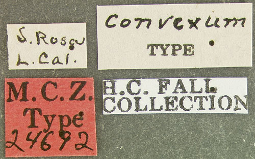 Image of <i>Tricorynus falli</i> (Pic 1905)