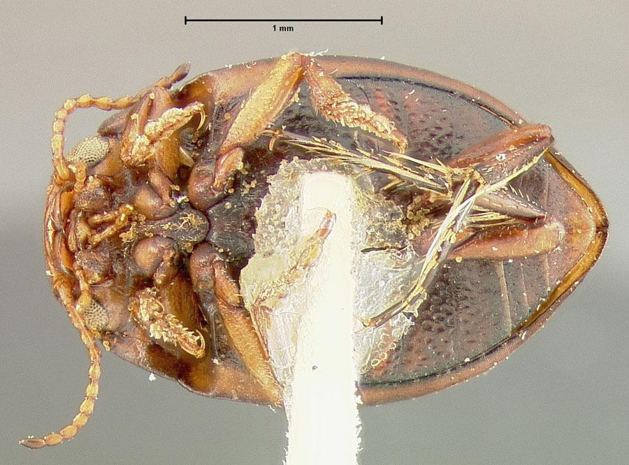 Image of <i>Oreodytes abbreviatus</i> (Fall 1923)