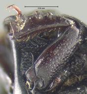 Image of <i>Margarinotus</i> (<i>Ptomister</i>) <i>ednae</i> (Carnochan 1915)