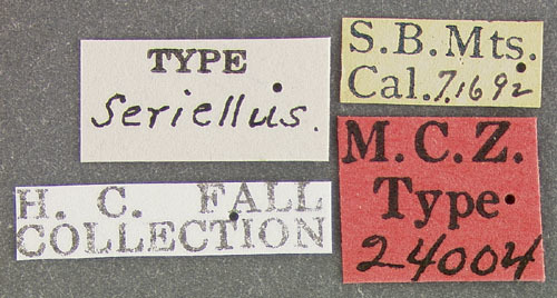Image of <i><i>Crenitis</i></i> (Crenitis) <i>rufiventris</i> (Horn 1873)