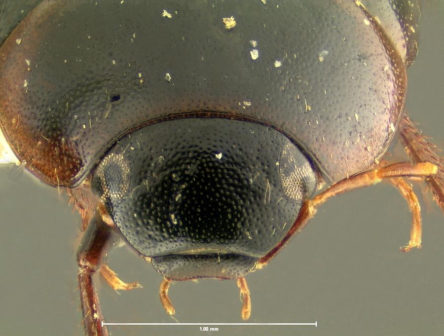 Image of <i>Cymbiodyta acuminata</i> Fall 1924