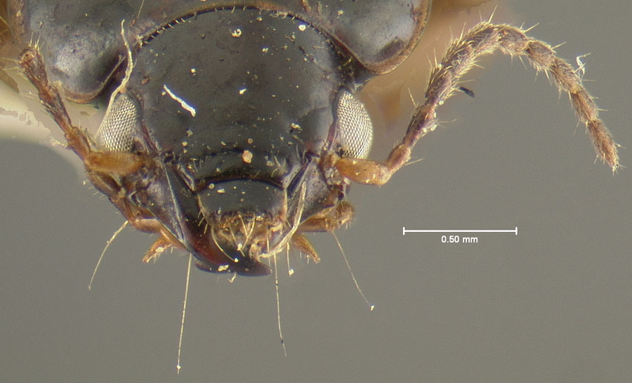 Image of <i>Pelmatellus nitescens</i> Bates 1882