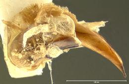 Image of <i><i>Trichotichnus</i></i> (Trichotichnus) <i>denarius</i> Darlington 1968