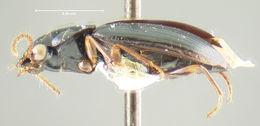 Image of <i>Trichotichnus</i> (<i>Bottchrus</i>) <i>semimas</i> Darlington 1968