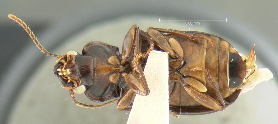 Image of <i>Trichotichnus</i> (<i>Bottchrus</i>) <i>modus</i> Darlington 1968