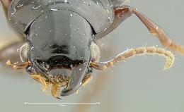 Image of <i>Trichotichnus</i> (<i>Bottchrus</i>) <i>altus</i> Darlington 1968