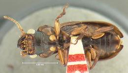 Image of <i>Trichotichnus</i> (<i>Harpaloxenus</i>) <i>fortis</i> (Darlington 1968)
