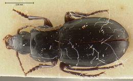 Image of <i>Calathus</i> (<i>Neocalathus</i>) <i>clauseni</i> Ball & Nègre 1972