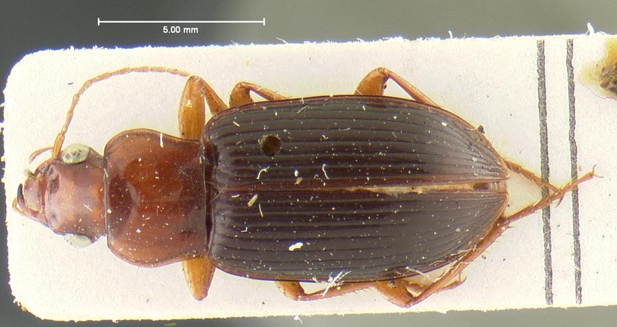Image of <i><i>Trichotichnus</i></i> (Trichotichnus) <i>vulpeculus</i> (Say 1823)