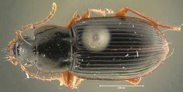 Image of <i><i>Trichotichnus</i></i> (Trichotichnus) <i>autumnalis</i> (Say 1823)