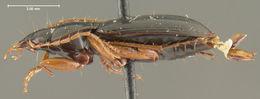 Image of <i>Calathus</i> (<i>Neocalathus</i>) <i><i>ambigens</i></i> ambigens Bates 1891