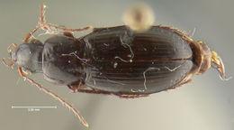 Image of <i>Calathus</i> (<i>Neocalathus</i>) <i>erwini</i> Ball & Nègre 1972