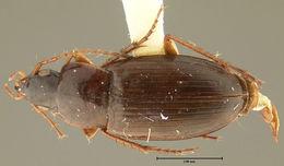 Image of <i>Calathus</i> (<i>Neocalathus</i>) <i>marmoreus</i> Ball & Nègre 1972