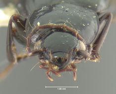 Image of <i>Calathus</i> (<i>Neocalathus</i>) <i>leechi</i> Ball & Nègre 1972
