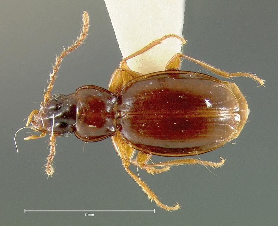 Image of <i><i>Trechus</i></i> (Trechus) <i>priapus</i> K. Daniel 1902