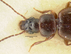 Image of <i><i>Trechus</i></i> (Trechus) <i>obtusus lucanus</i> Focarile 1949